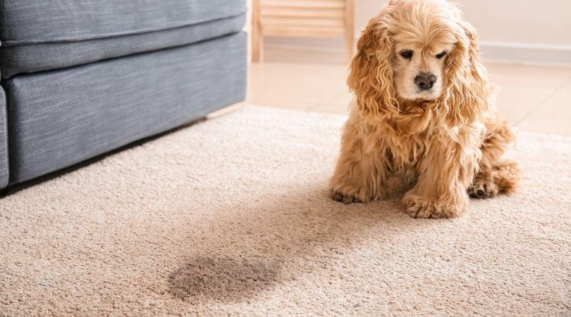 Pet Urine Removal Treatment Miami